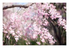 Series Sakura 11