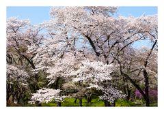 Series Sakura 13
