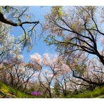 Series Sakura 15