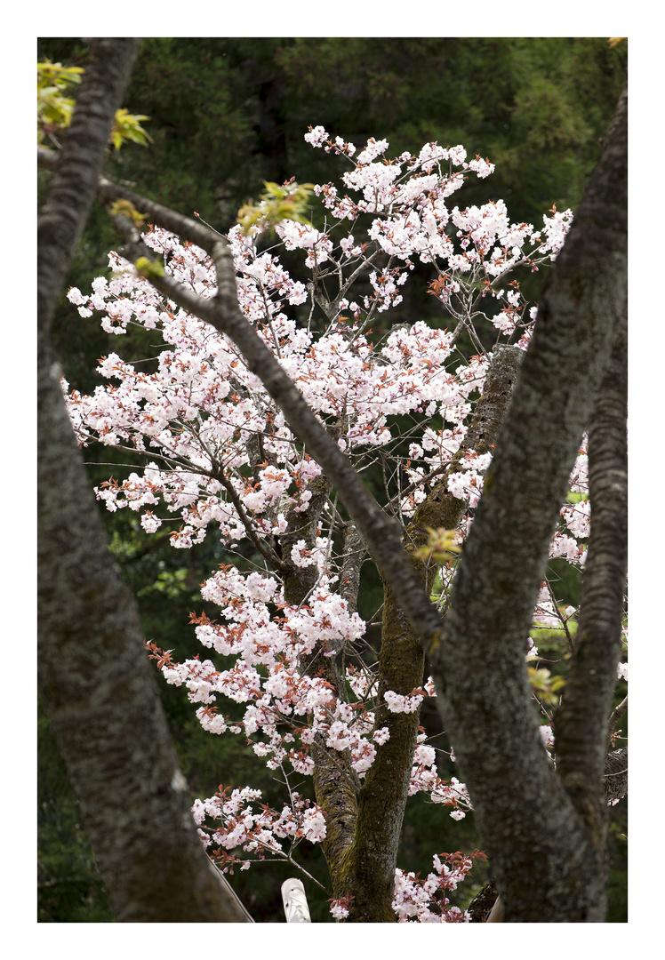 Series Sakura 16