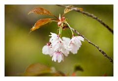 Series Sakura 17