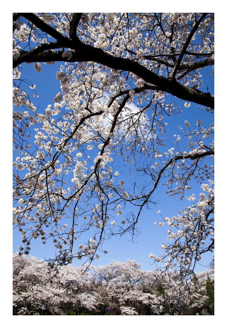 Series Sakura 2