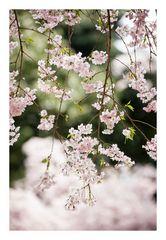Series Sakura 20