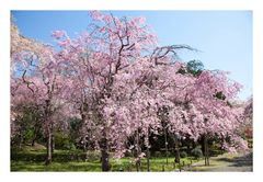 Series Sakura 3