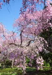Series Sakura 4