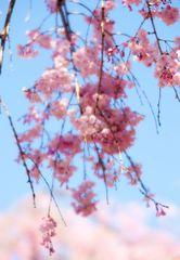 Series Sakura 5