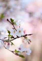 Series Sakura 6