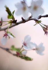 Series Sakura 8
