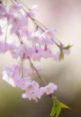 Series Sakura 9