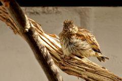 Serinus serinus - Jungvogel