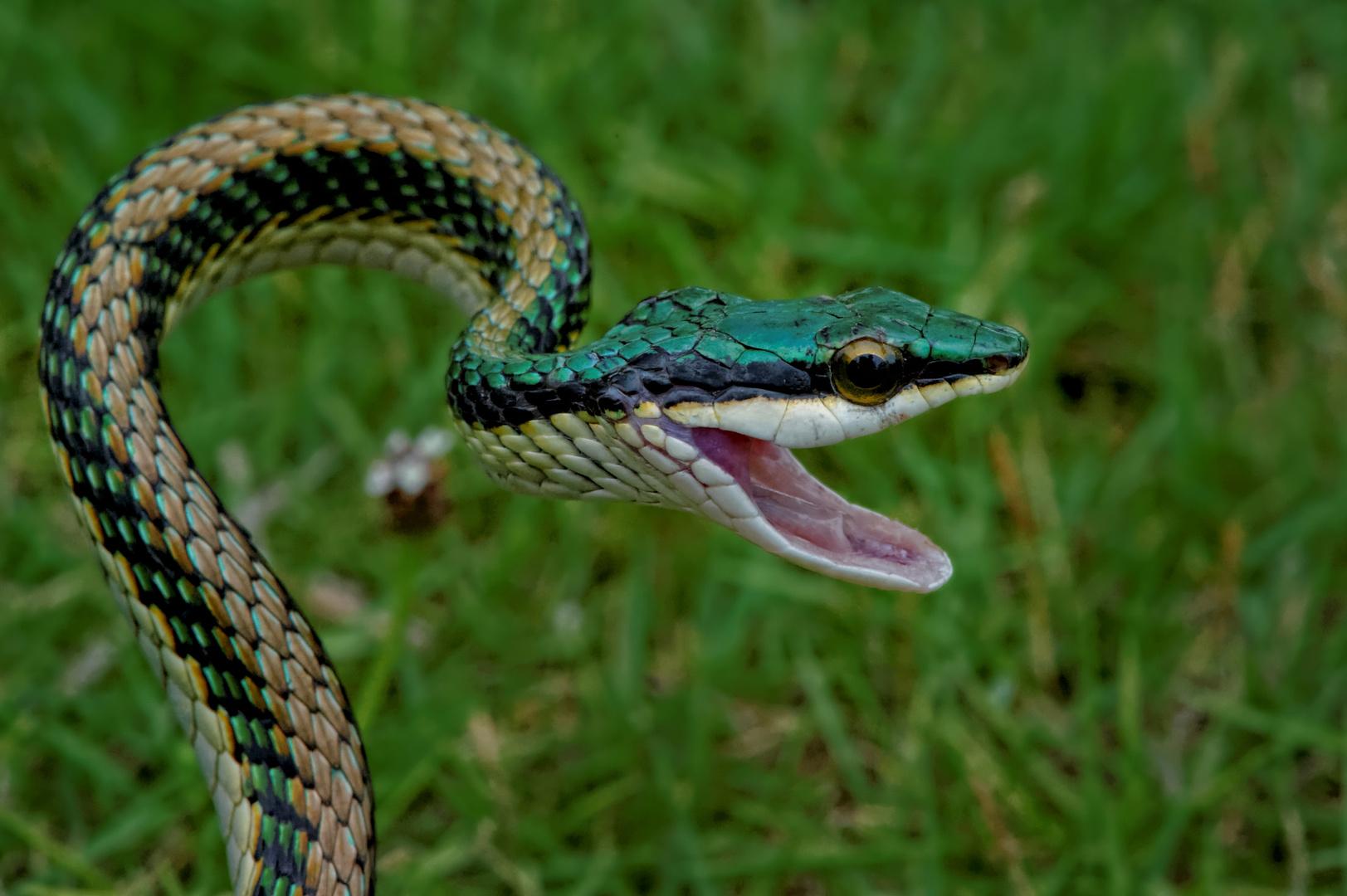 Serpent perroquet du Mexique - Mexican parrot snake