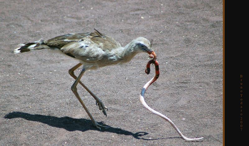 Serpentario e preda