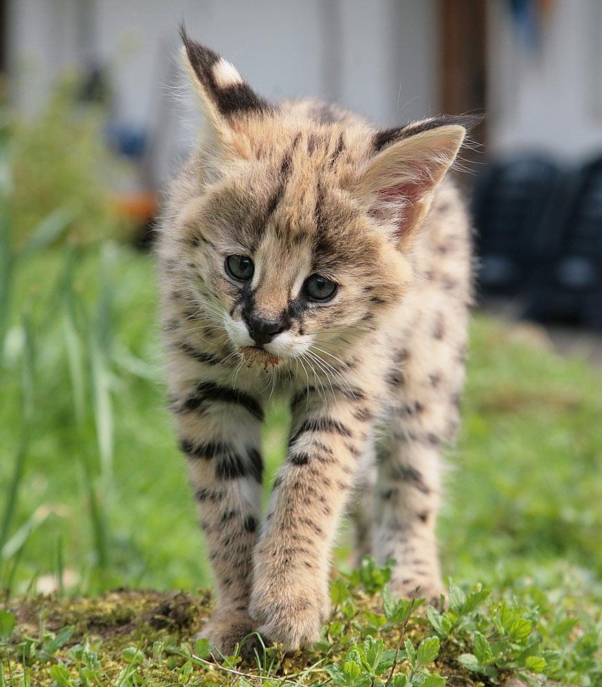 serval im farn