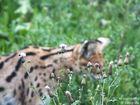 Serval meet Nature