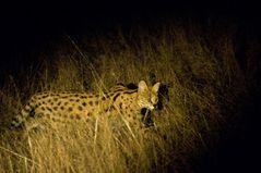 Serval On Tour