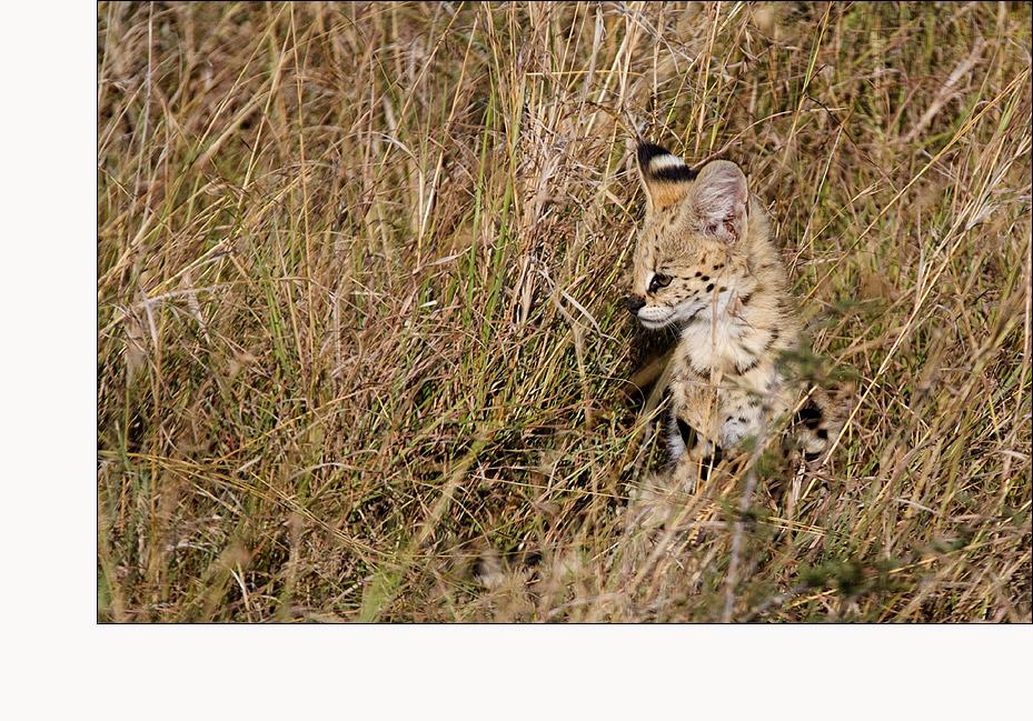 Servalkitten (Serval #03)