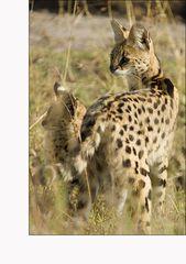 Servalmutter mit Kitten (Serval #04)