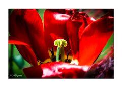 Sesam öffne dich - Tulpe I
