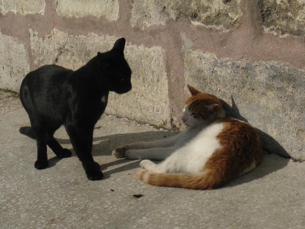 sfida in codice felino tra gatti turchi