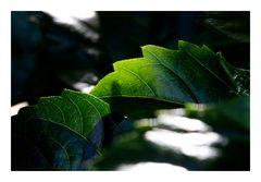 Shadow on leaves-2