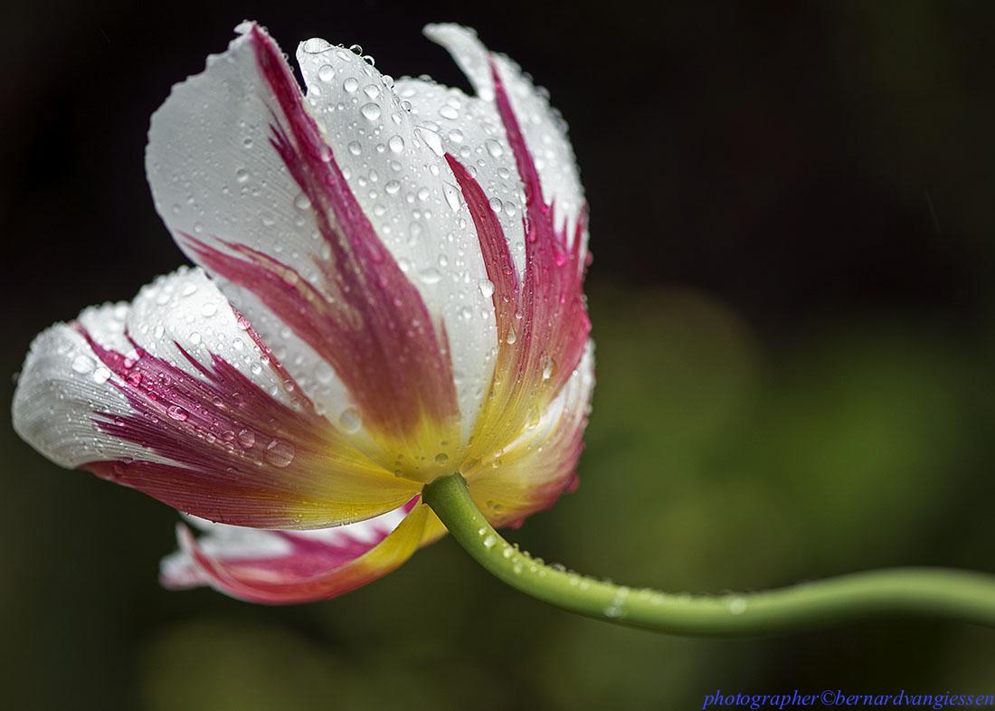 Shane's tulip