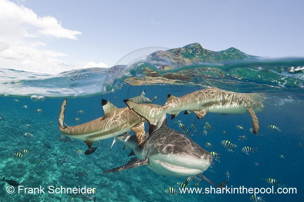Sharks half & half (I)