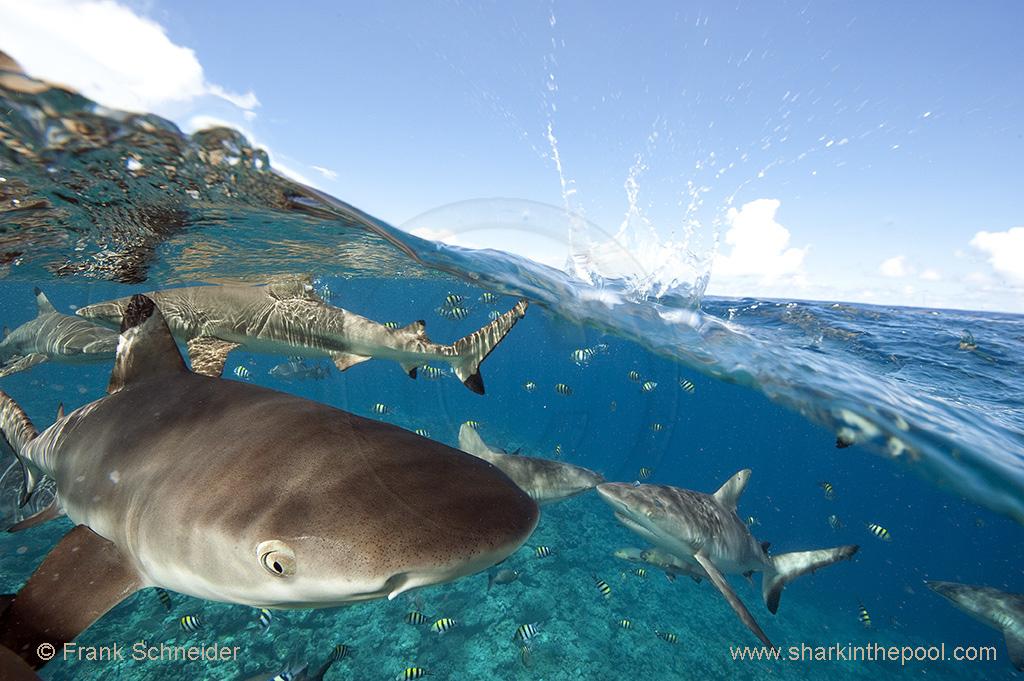 Sharks half & half (II)
