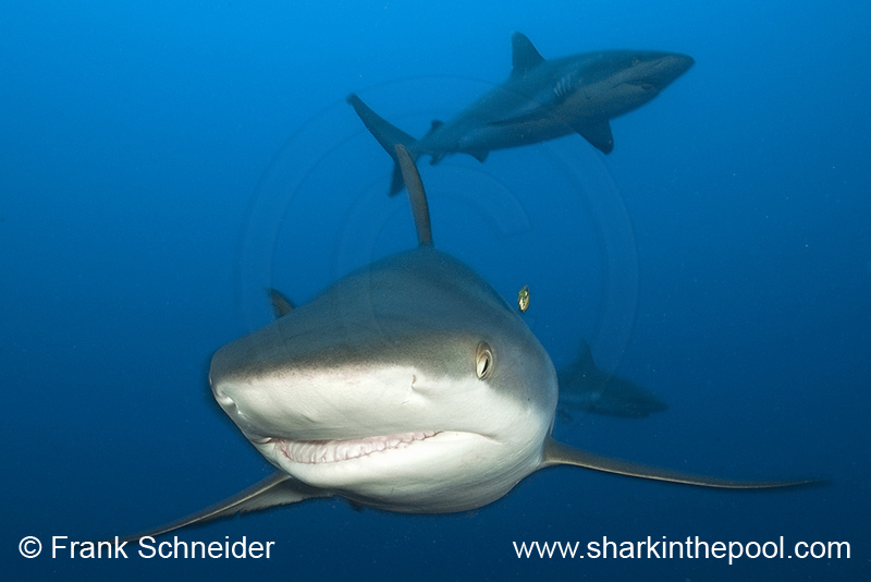 Sharks (iV)