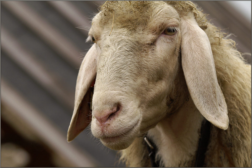 """Sheep"""