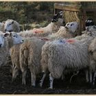 sheep at featherstone 18