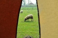 Sheep between the curtains