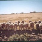 Sheep butts in Oz