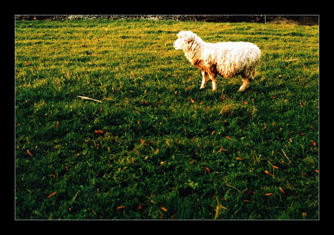 ::.. sheep ..::