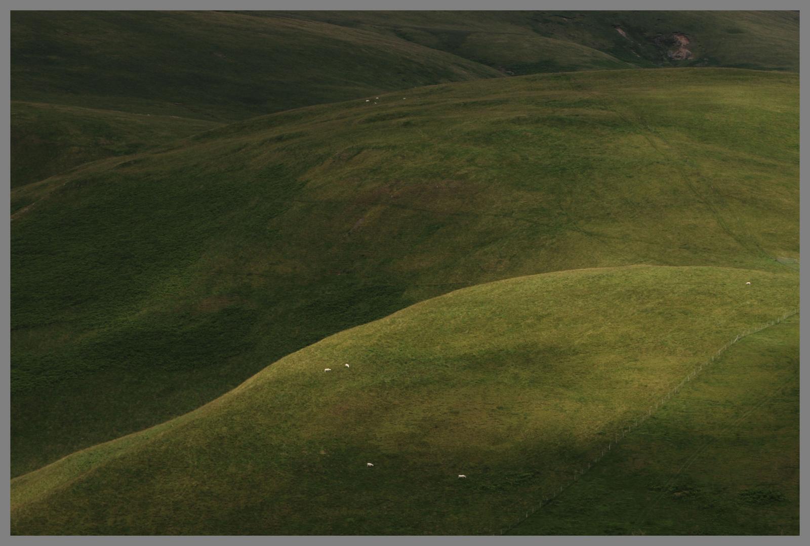 sheep grazing 3b near the Street Cheviot Hills