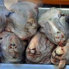 sheep heads