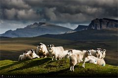 Sheep Herd (2011 Series)
