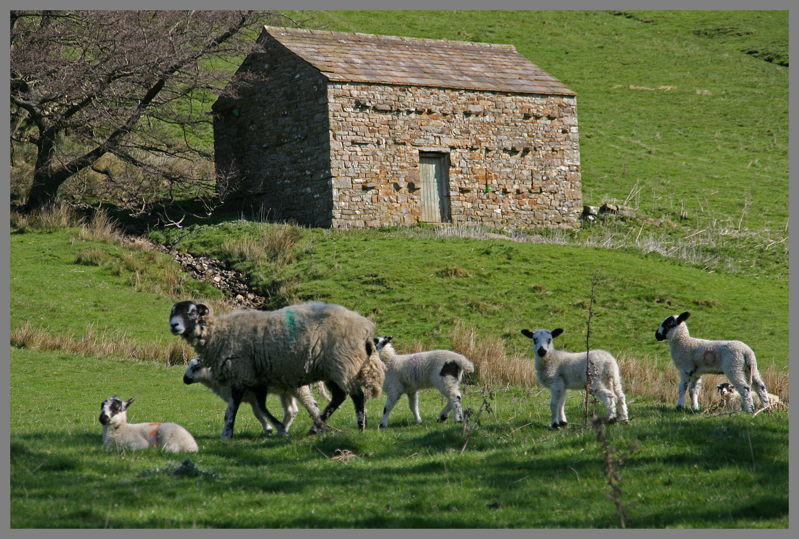 Sheep In Front Of A Barn Near Gunnerside Swaledale Yorkshire