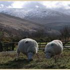 sheep in the college valley 2