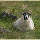 sheep in the college valley