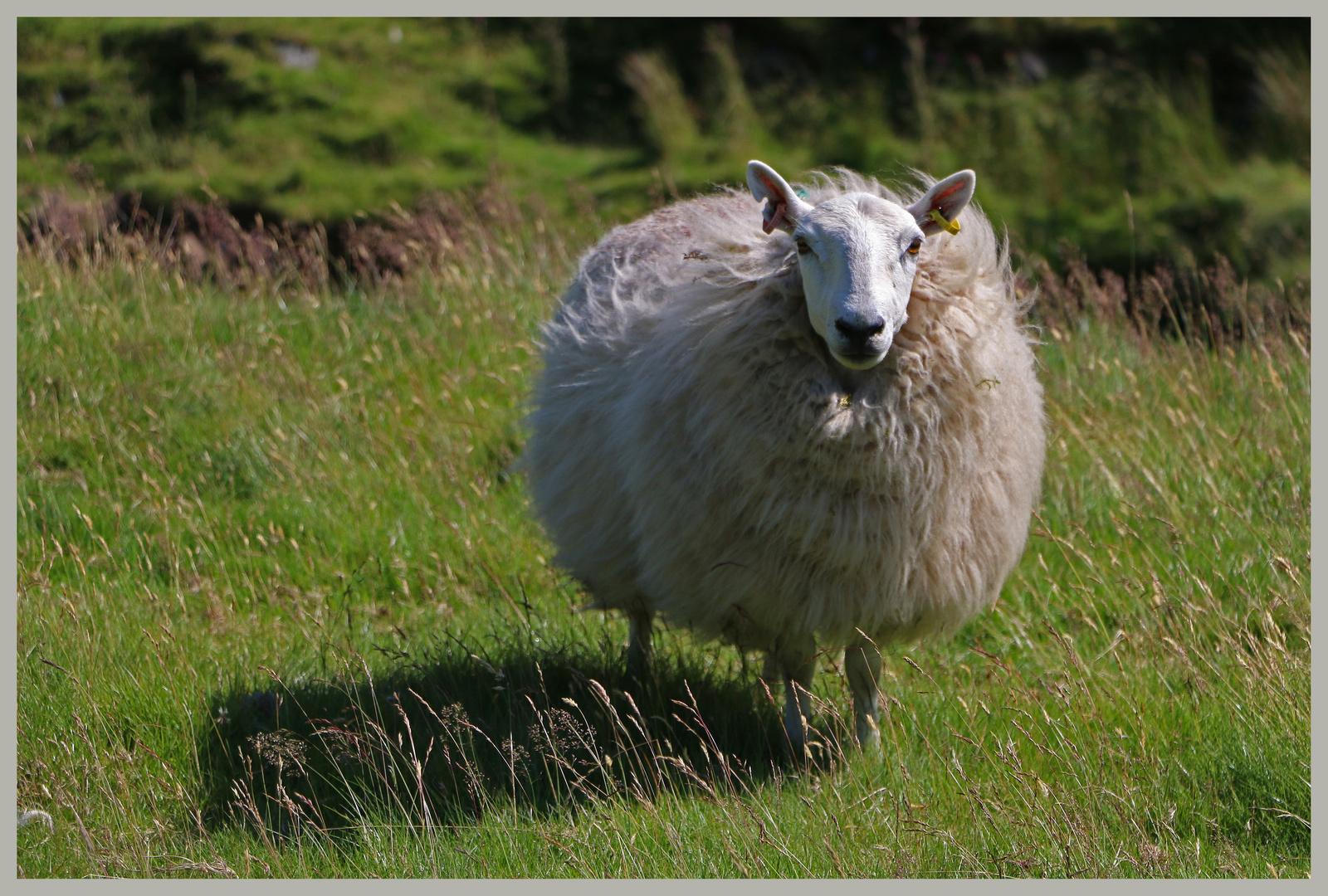 sheep near windyhaugh Cheviot hills 2A