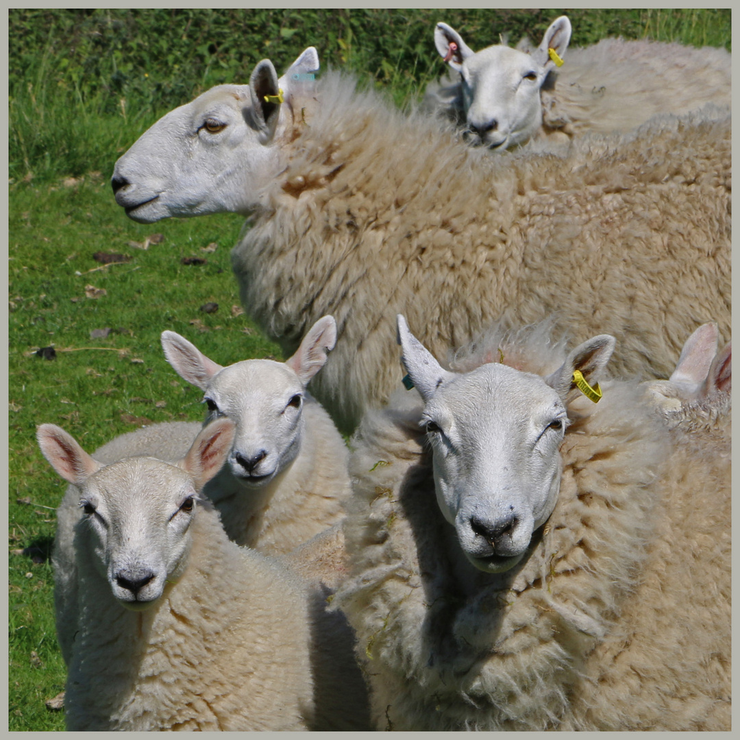 sheep near windyhaugh in the Cheviot Hills