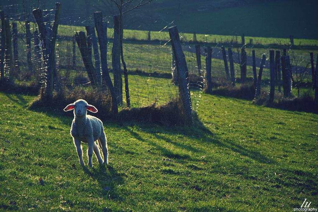 'Sheep' - No. 2
