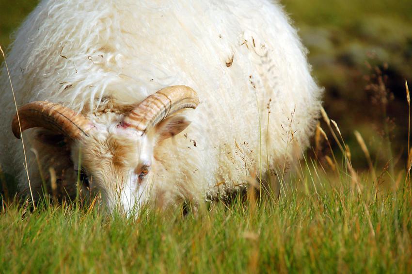 Sheep of Iceland