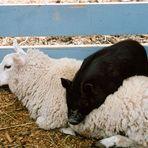 Sheep & Piglet