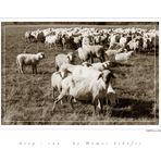sheep-run