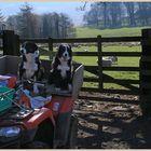 sheepdogs at hethpool