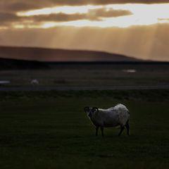 sheeprays