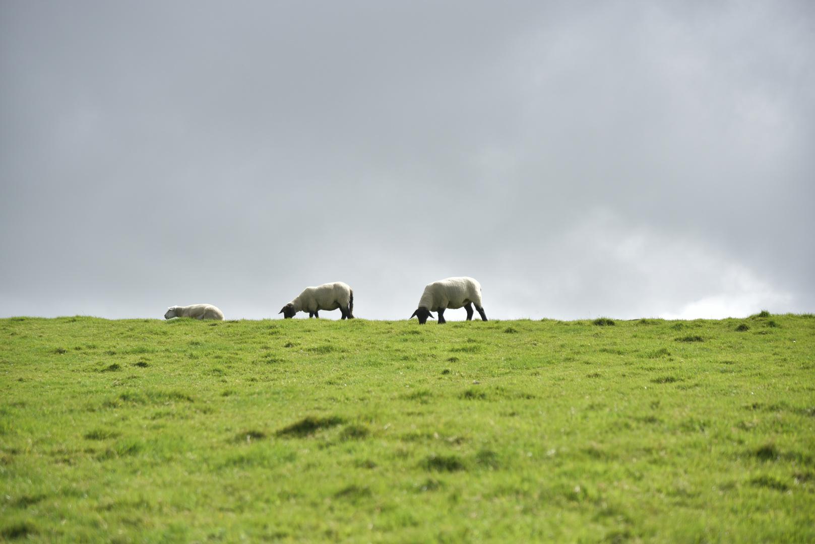 Sheeps and sky