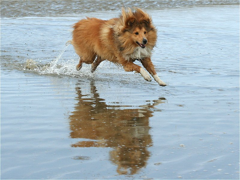 Sheltie - Over the Water