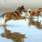 Sheltie - Two of a kind